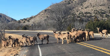 Barbary Sheep Crossing – Lincoln, New Mexico